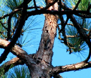 red-cockaded woodpecker Carolina Sandhills NWR