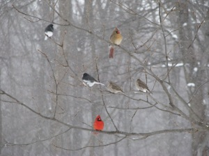 Northern Cardinals, Dark-eyed Juncos, House Finches