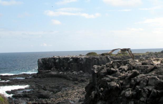 Waved Albatross Galapagos Islands