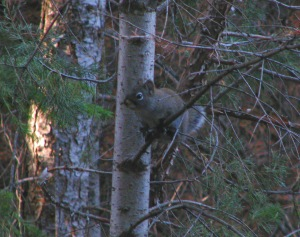 squirrel on flagstaff