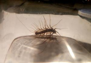 house centipede in the basement