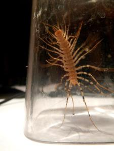 Ramon the House Centipede