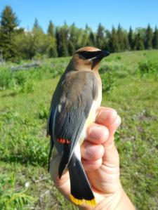 A Cedar Waxwing. Note the waxy tips on his wing feathers. No one knows exactly why some waxwings secrete these tips, but they sure do look cool (and maybe help attract the ladies).