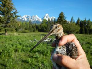 A Wilson's Snipe with the Teton Range in the background.