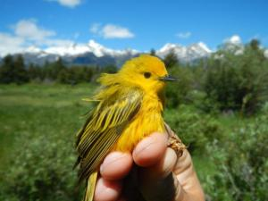 Up close and personal with a beautiful male Yellow Warbler. His feathers are a little ruffled because of the wind. And yes, those are the Tetons in the background.