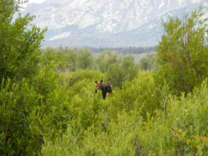 Moose at blacktail ponds