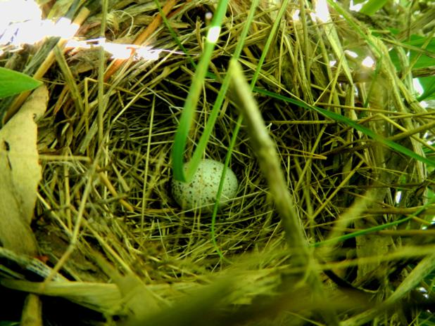 Song Sparrow nest