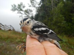 a black-and-white warbler held in the hand of a bird bander.