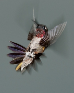 Ruby-throated-Hummingbird-52