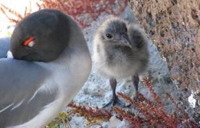 Galapagos Islands lava gull