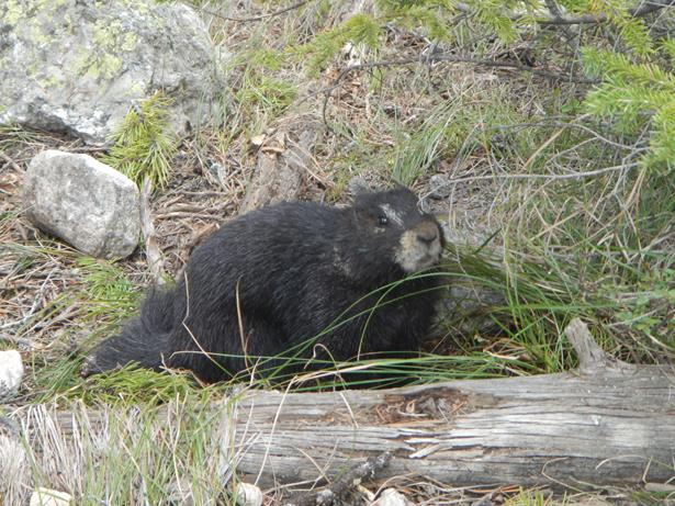 Grand Teton National Park marmot